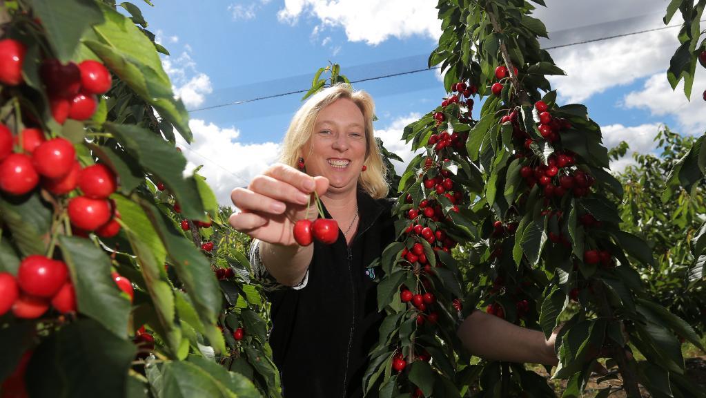 中国商家青睐塔斯马尼亚樱桃